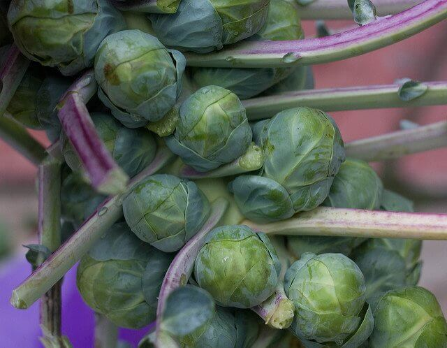This is not an alien life form! These are delicious Brussels sprouts on the stalk.