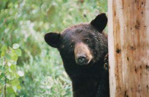 black bear peeking around tree